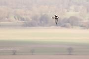 Peregrine (Falco peregrinus) in flight. Sussex, UK.