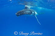 humpback whale mother with calf resting on top of head, Megaptera novaeangliae, Vava'u, Kingdom of Tonga, South Pacific