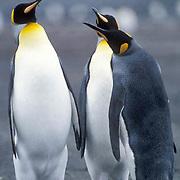 King Penguin, (Aptenodytes p.patagonica) Aggressive confrontation between adult.S. Georgia Islands