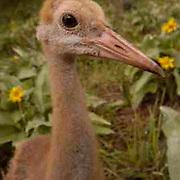 Sandhill Crane, (Grus canadensis) Chick. Portrait. Spring. Yellowstone National Park.