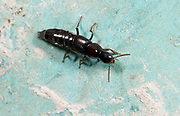 Close-up of a black rove beetle (Philonthus cephalotes) walking around the edge of a compost bin in a Norfolk garden in late summer