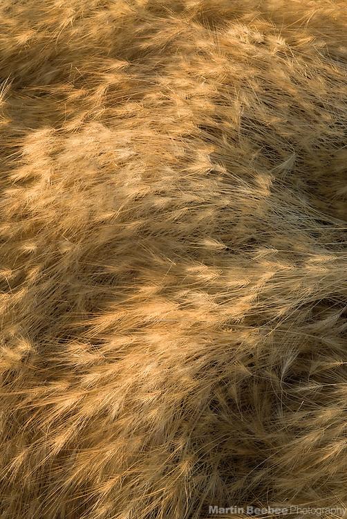 Summer foxtail patterns, California