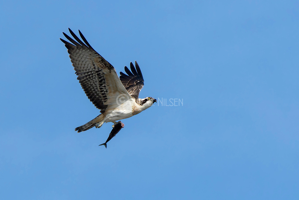 Osprey (Pandion haliaetus) with prey. Photo from Hidra, south-western Norway in September.