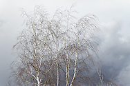 """Delicate wispy and random shapes of white birches move gracefully with the gusts of an oncoming Spring rainstorm. The muted tones of a blue-grey sky create a soft watercolor-like background for these lovely trees. A painterly rendering has been applied to this image. <br /> <br /> For IMAGE LICENSING just click on the """"add to cart"""" button above.<br /> <br /> Fine Art archival paper prints for this image as well as canvas, metal and acrylic prints available here:<br /> http://2-julie-weber.pixels.com/featured/soft-moment-julie-weber.html"""