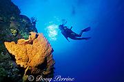 diver and orange elephant ear sponge, <br /> Agelas clathrodes, Mount Olympus,<br /> Bahamas ( Western Atlantic Ocean )  MR 161
