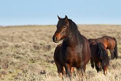 Bay mustang Stallion, McCullough Peaks Mustangs, Cody Wyoming