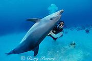 Spot, a wild, lone, sociable bottlenose dolphin, Tursiops truncatus, rests on bottom while getting a scratch from pal Jason Belport, Cayman Brac, Cayman Islands ( Caribbean Sea ) MR 281