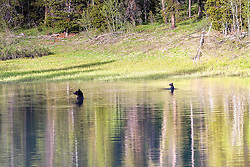 """Synchronized swimming in a Grizzly Bear's World. This is the famous Grizzly Bear sow 399 and her 2016 cub of the year """"Snowy"""" taking a dip in a pond in Grand Teton National Park. Grizzly 399 is known as """"The Lady of the Tetons"""". <br /> <br /> Sadly soon the area this bear family ranges will open to hunting and this prolific momma grizzly may be on a hunters wall.<br /> <br /> Contact for custom print options or inquiries about stock usage  - dh@theholepicture.com"""