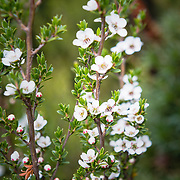 Native Australian flower in forest at Cradle Mountain