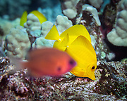 The yellow tang is a saltwater fish species of the family Acanthuridae.