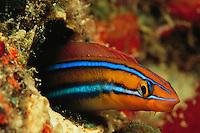 A bluestriped fangblenny peering from a hole in a reef wall.