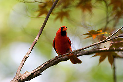 10 Jul 2011:  Male red cardinal (Photo by Alan Look)