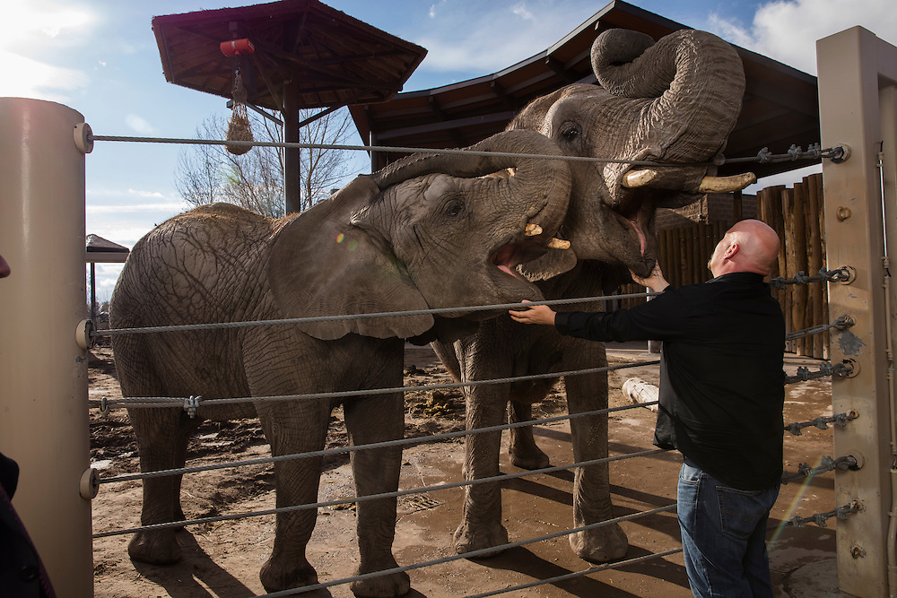 Eric Peterson stands in front of the elephants at Hogle Zoo. He is helping Dr. Joshua Schiffman, who is doing cancer research on why elephant rarely get cancer. Eric Peterson is the elephant manager at Hogle Zoo in Salt Lake City,  Utah Thursday March 31, 2016. (August Miller)