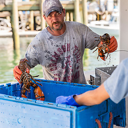 Sternman Geno Holmes on the lobster boat 'Tall Tales', unloading lobster at the Spruce Head Fisherman's Co-op in South Thomaston, Maine.