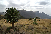 Giant Lobelia, Lobelia rhynchopetalum, Simien Mountains National Park, Ethiopia