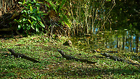 Baby (one-year old) Alligators outside Clyde Butcher's Gallery. Winter Nature in Florida Image taken with a Nikon D4 camera and 80-400 mm VRII telephoto zoom lens.