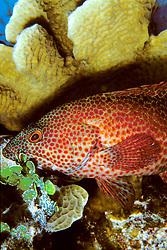 game fish, graysby, Epinephelus cruentatus, sheltering under lettuce coral, Agaricia agaricites, Charlie's Reef, Cayman Brac, Cayman Islands, Caribbean Sea, Atlantic Ocean