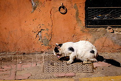 A semi wild cat enjoying a piece of meat in the Mellah district of Marrakech, Morocco, North Africa<br /> <br /> <br /> <br /> (c) Andrew Wilson | Edinburgh Elite media