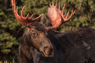 Portrait of a Bull Moose in the early morning light