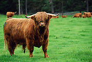 Highland cattle bull, Scotland, UK.