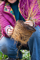 Planting a pot grown shrub (Cornus) in a border. Showing example of a good rootball. Teasing out the roots.