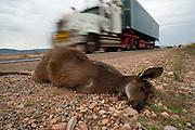 Grey Kangaroo (Macropus giganteus) hit and killed by motor vehicle along a highway in South Australia.