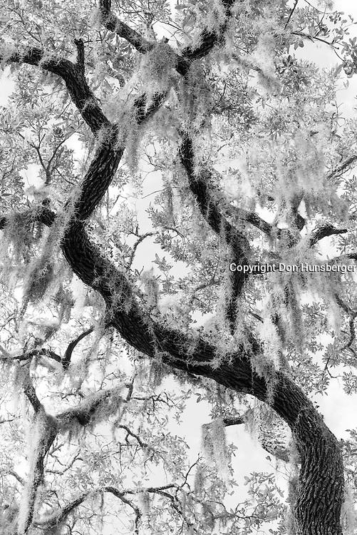 Live oak and moss.