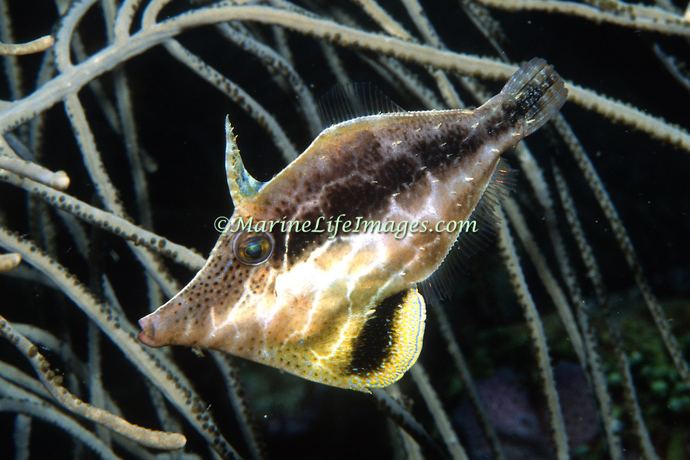 Slender Filefish drift among the branches of gorgonians blending with their surroundings in Tropical West Atlantic; picture taken Barbados.
