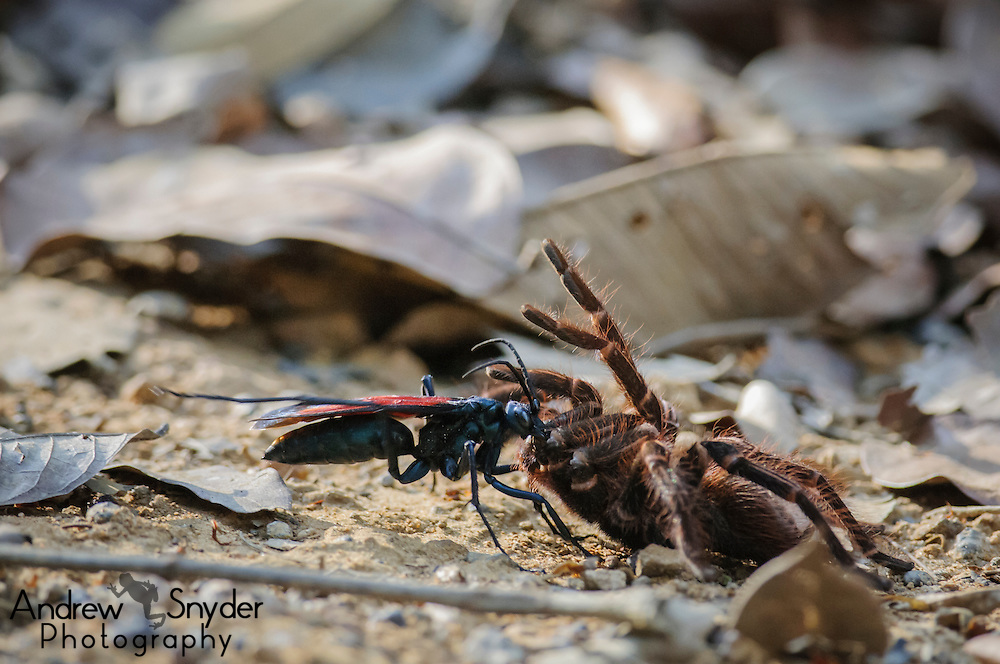 A Pepsis wasp carrying off its tarantula for a gruesome death.