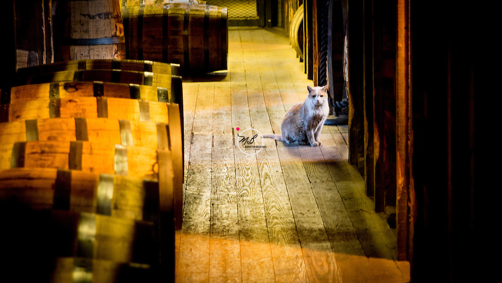 Jeremiah the cat at the Woodford Reserve Distillery