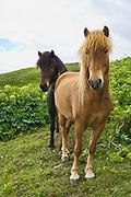 Icelandic Horses Icelandic Horses