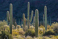 Intimate landscape of backlit saguaro cactus in Organ Pipe National Monument, Arizona