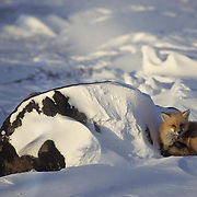 Red Fox (Vulpus fulva) adult curled up in snow at Hudson Bay, Canada.