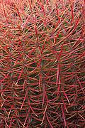 Detail of Barrel Cactus (Ferocactus cylindraceus) in the Cottonwood Mountains, Joshua Tree National Park, California