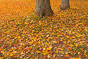 Sugar maple leaves in autumn<br />