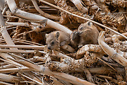 A family of Rock Hyrax, (Procavia capensis). Photographed in Israel