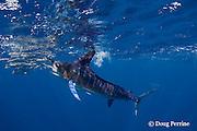 striped marlin, Kajikia audax (formerly Tetrapturus audax ), feeding on baitball of sardines or pilchards, Sardinops sagax, off Baja California, Mexico ( Eastern Pacific Ocean ) #4 in sequence of 5 images