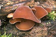 Jelly Ear Fungus or Jew's Ear Fungus - Auricularia auricula-judae