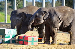 © Licensed to London News Pictures. 11/11/2010 Whipsnade UK..Christmas comes early for Whipsnade Zoo's young Asian elephants as they open giant gifts.  Donna, 2 and George, 1 ripped and trampled the presents stuffed with hay and festive treats to help get them in the Christmas spirit. Photo credit : Simon Jacobs/LNP