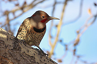I saw this Flicker while I was at Carburn Park.  Initially it was on the ground but it spooked into a tree when I approached.  It didn't seem to mind me being close to it while it was perched though, and I was able to get very close and take lots of images...©2009, Sean Phillips.http://www.Sean-Phillips.com