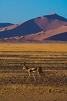 Springbok, Sossusvlei Sand Dunes (highest dunes in the world), Namib Desert, Namib-Naukluft National Park, Namibia