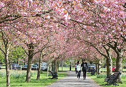 © Licensed to London News Pictures. 05/04/2017. Greenwich, UK. People pictured enjoying the popular avenue of cherry blossom in Greenwich Park. Photo credit : Rob Powell/LNP