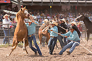 A group of cowboys try to mount a wild horse during the Wild Horse Race at the Cheyenne Frontier Days rodeo at Frontier Park Arena July 24, 2015 in Cheyenne, Wyoming. Frontier Days celebrates the cowboy traditions of the west with a rodeo, parade and fair.