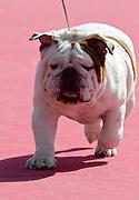 English Bulldog at a dog show