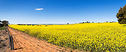 Flowering canola crop in farm paddock under blue sky at Junee, New South Wales, Australia. <br /> <br /> Editions:- Open Edition Print / Stock Image