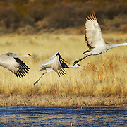 Graceful Sandhill Cranes take to the air at Bosque del Apache National Wildlife Refuge in San Antonio, New Mexico.