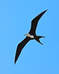 great frigatebird, Fregata minor, juvenile in flight, Kona Coast, Big Island, Hawaii