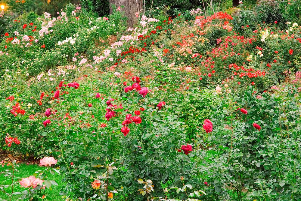 Roses at the International Rose Test Garden, Portland, Oregon