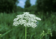Milk-parsley (Peucedanum palustre) HEIGHT to 1.5m. Hairless biennial with ridged stems that are often blotched purple. The unbels of white flowers, 3-8cm across, have long, sometimes forked, bracts below (July-Sept) and the leaves are deeply pinnately divided. It grows in East Anglian fens.