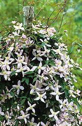 Clematis montana 'Elizabeth' growing up a post at Great Dixter